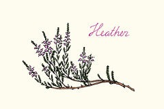 Hand drawn heather. Branch with handwritten Heather word made in vector. Beautiful floral design elements Stock Photography