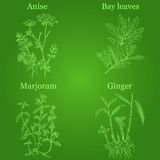 Hand drawn herbs Stock Photo