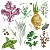 Hand drawn herbs and spices set in color. Hand drawn highly detailed herbs and spices set in color Stock Image