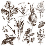 Hand drawn herbs and spices set Royalty Free Stock Image