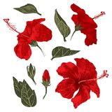 Hand drawn hibiscus leaves, flowers and buds stock illustration
