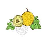 Hand drawn honeydew fruits Stock Image