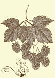 Hand drawn hop branch Royalty Free Stock Image