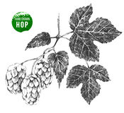 Hand drawn hop brunch. Hand drawn black and white hop brunch on white background Stock Photo