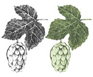 Hand drawn hop brunches Stock Image