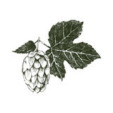 Hand drawn hop plant Royalty Free Stock Photography