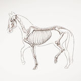 Hand Drawn Horse Skeleton Royalty Free Stock Photography