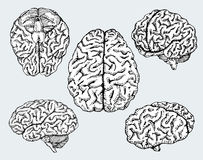 Hand drawn human brains. Vector. Stock Image