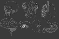 Hand drawn human organs Stock Image