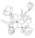 Hand-drawn illustratie van magnoliabloemen Royalty-vrije Stock Afbeelding