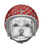 Portrait of Havanese with helmet, hand-drawn illustration. Hand drawn illustration of animal royalty free illustration