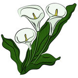 Hand drawn illustration of a calla Stock Photography