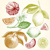 Hand drawn illustration with citrus fruits. Stock Photos