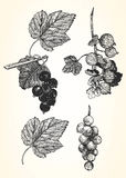 Hand-drawn illustration of Currant and Gooseberry. Royalty Free Stock Photo