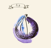 Hand drawn illustration of fig Stock Image