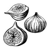 Hand-drawn illustration of Figs. Stock Photo