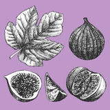 Hand-drawn illustration of Figs. Stock Photography