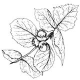 HAnd drawn  illustration of hazelnut branch and leaves Stock Photo