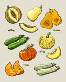 Hand drawn illustration of pumpkin and zucchini. Royalty Free Stock Images