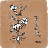 Hand-drawn illustration of Rooibos. Vector stock illustration