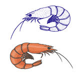 Hand drawn illustration of shrimp. Outline and colored one Stock Photography