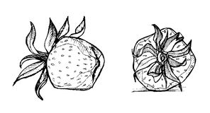 Hand drawn illustration -   strawberries. Sketch Royalty Free Stock Image