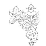 Hand drawn illustration of strawberry bushes . Branch with Royalty Free Stock Photos