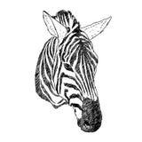 hand drawn illustration of zebra head. realistic sketch Royalty Free Stock Photo