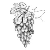 Hand drawn illustrations of grapes Stock Photography