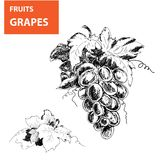 Hand drawn illustrations of grapes Stock Photo