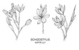 Hand drawn illustrations of Schizostylis vector illustration