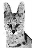 Hand drawn image of a Serval stock image