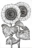 Hand Drawn Image of Two Sunflowers Stock Photos