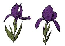 Hand-drawn iris set in vector on white background. Stock Image