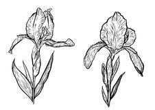 Hand-drawn iris set in vector on white background. Stock Images