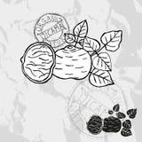 Hand drawn jicama Royalty Free Stock Images
