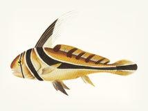 Hand drawn of knight fish Stock Photo