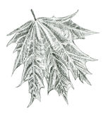 Hand drawn leaf of maple illustration Stock Photography