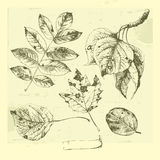 Hand drawn leaves. Royalty Free Stock Photography