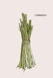 Hand drawn lemongrass . Royalty Free Stock Photography