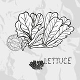 Hand drawn lettuce Stock Photos