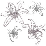 Hand drawn lilium flowers, vector illustration.  Royalty Free Stock Photography