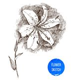 Hand drawn lily flower Stock Image