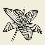 Hand drawn Lily flower Royalty Free Stock Photo
