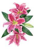 Hand-drawn lily flowers. Penciled pink lily flowers with leaves Stock Images