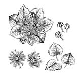 Hand drawn linden flowers and leaves. Stock Images