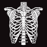 Hand drawn line art anatomically correct human ribcage. Royalty Free Stock Images