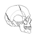 Hand drawn line art anatomically correct human skull. Vector illustration Royalty Free Stock Images