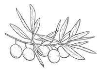 Hand drawn line art illustration of olive branch. Isolated on wh Royalty Free Stock Images