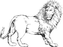 Hand drawn lion Stock Photography